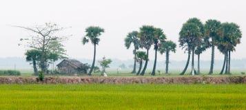 在水稻的棕榈树在越南南方调遣 库存图片