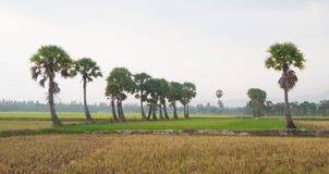 在水稻的棕榈树在越南南方调遣 免版税库存照片