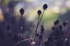 在死的植物的Spiderweb 免版税库存照片