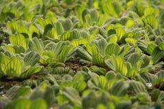 在水的植物 免版税库存照片
