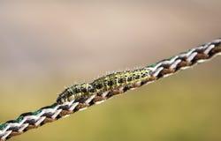 在绳索的毛虫 库存照片