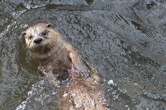 在他的浮动河中水獭在河 免版税库存图片