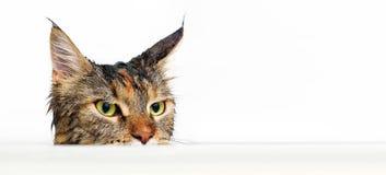 在浴的湿猫 免版税库存图片