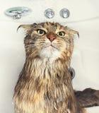 在浴的湿猫 图库摄影