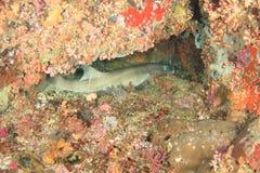 在洞的灰色礁石鲨鱼 库存图片