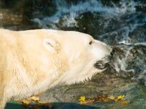 在水的熊属类maritimus附近的北极熊 库存图片
