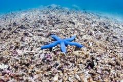 在死的珊瑚礁的海星 图库摄影