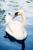 在水的疣鼻天鹅 免版税图库摄影
