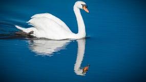 在水的白色天鹅游泳 库存图片