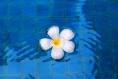 在水的白花 库存图片