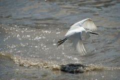 在水的白鹭飞行 免版税库存图片