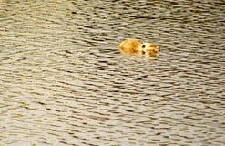 在水的睡眠 免版税库存照片