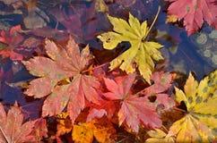 在水13的秋叶 图库摄影