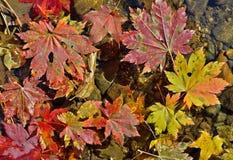在水11的秋叶 图库摄影