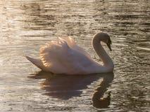 在水的空白天鹅 库存图片