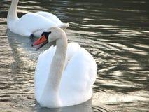 在水的空白天鹅 免版税库存照片