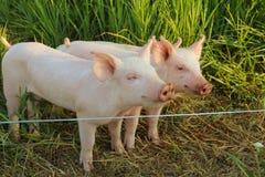在他们的笔的逗人喜爱的小猪 图库摄影