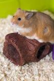 在他的笼子的逗人喜爱的仓鼠 库存照片