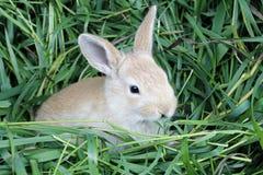 在嘴的红色兔子草 库存图片