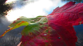 在水的红色和绿色叶子 库存照片