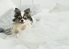 在轻的纺织品装饰外套的长发奇瓦瓦狗狗一张现代床的在议院或旅馆里 库存照片