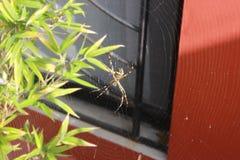 在他的网3的黄色蜘蛛 库存照片