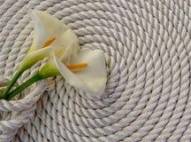在绳索的美丽的白色水芋百合 库存图片