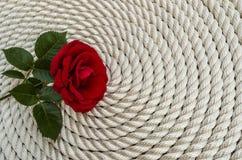 在绳索的美丽的红色玫瑰百合 图库摄影