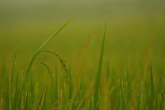 水滴在稻的耳朵的 库存图片