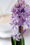 在轻的背景的开花的紫色风信花特写镜头 库存照片