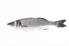 在轻的背景的新鲜的鲈鱼 库存图片