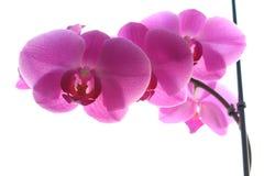 在轻的背景的桃红色兰花 免版税库存照片