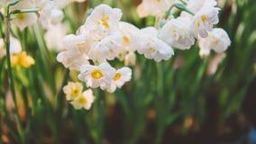 在轻的背景的特写镜头黄水仙 黄水仙春天花 浅的重点 免版税库存照片