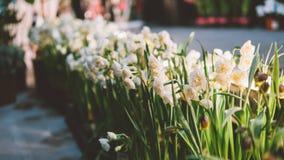 在轻的背景的特写镜头黄水仙 黄水仙春天花 浅的重点 免版税图库摄影