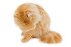 在轻的背景的红色猫 库存照片