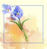 在轻的背景的美好的水彩在卡片的,横幅花番红花白色 免版税库存照片