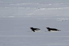 在他们的腹部爬行的两Adelie企鹅 库存照片