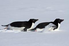 在他们的腹部爬行通过多雪的两Adelie企鹅 库存图片
