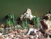 在他们的自然设置的牛蛙在狂放 免版税图库摄影