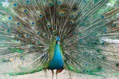 在他的自豪感的一个孔雀 免版税库存图片