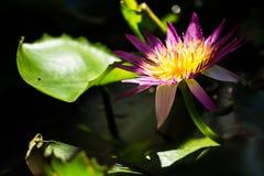 在水的花在泥罐 免版税库存图片