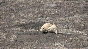 在洞穴的草原土拨鼠