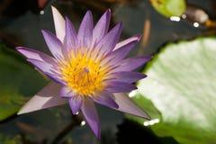 在水的莲花 图库摄影