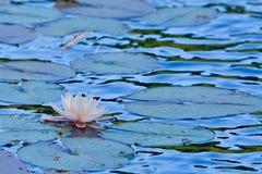 在水的莲花 库存照片