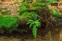 在水的蕨 免版税库存照片