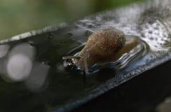 在水的蜗牛滑动 免版税库存图片