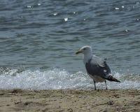 在水的边缘的海鸥 库存照片