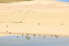 在水的边缘,罗得里格斯岛附近的水禽 库存图片