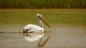 在水的达尔马希亚鹈鹕Pelecanus crispus游泳在多瑙河三角洲 图库摄影