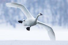 在水的野天鹅着陆 图库摄影